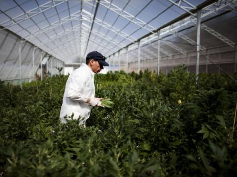 marijuana_farmer