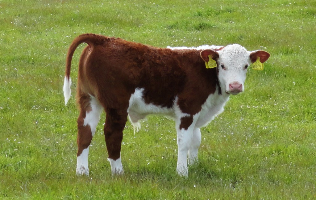 hereford bull calf