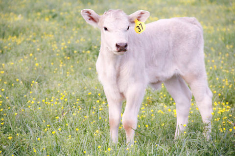 white charlais calf